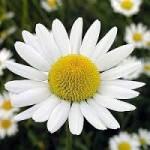 Homeopathie kan de bijwerkingen van bestraling tegen kanker verlichten. Eén van de vele middelen die in de homeopathie gebruikt worden is kamille.